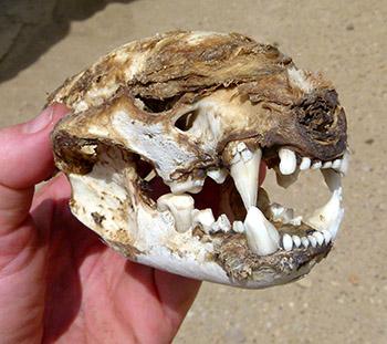 Cougar_Skull