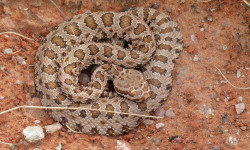 Rattlesnake -- actually tiny in size
